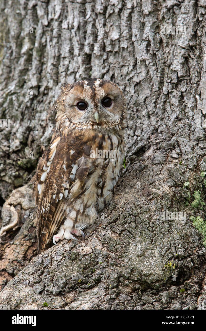 Tawny owl (Strix aluco), captive, camouflaged on tree, United Kingdom, Europe - Stock Image