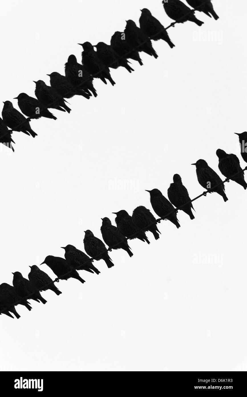 Starlings (Sturnus vulgaris) flock on telegraph wires, Islay, Scotland, United Kingdom, Europe - Stock Image