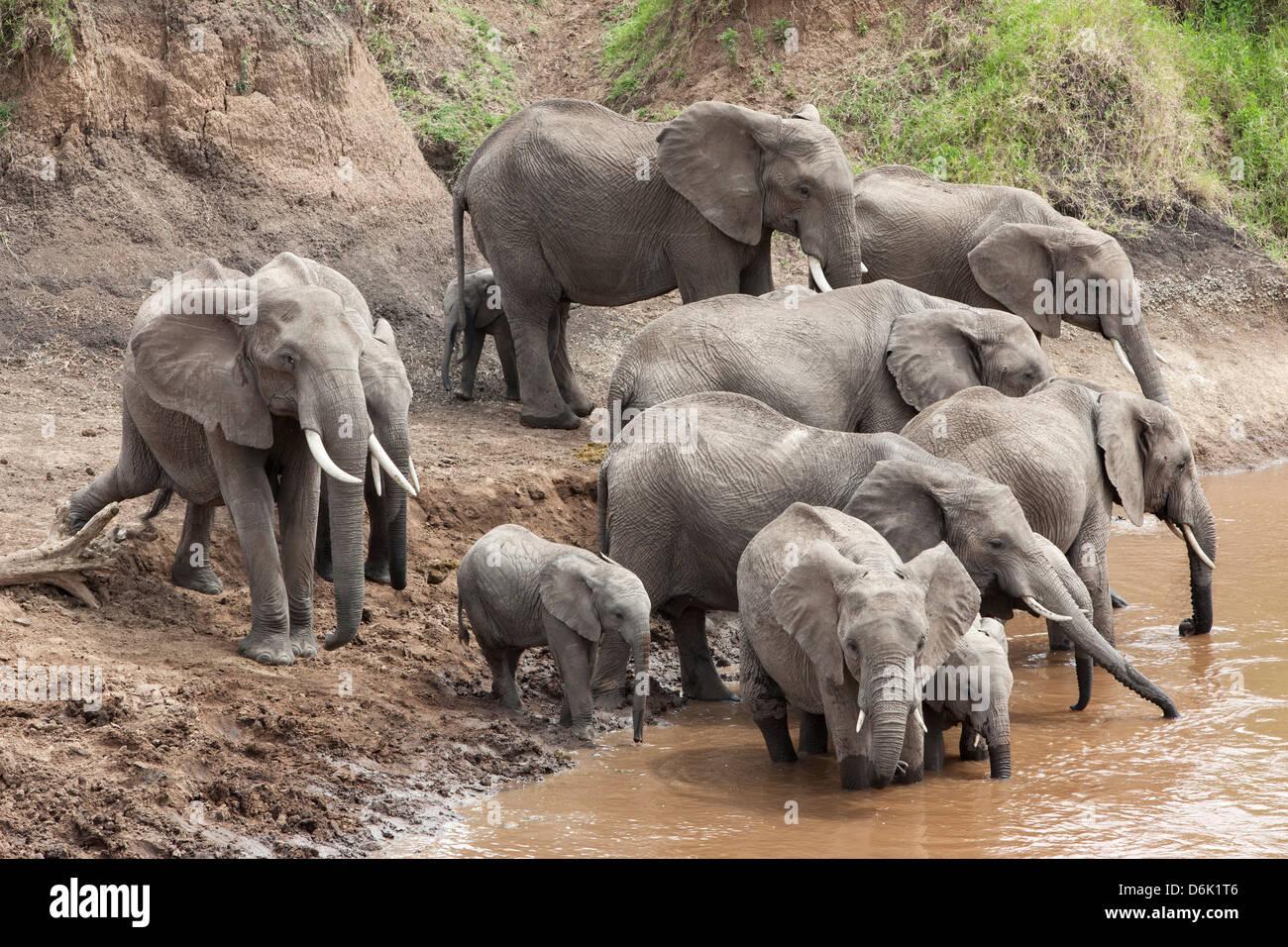Elephants (Loxodonta africana) at Mara River, Masai Mara National Reserve, Kenya, East Africa, Africa Stock Photo
