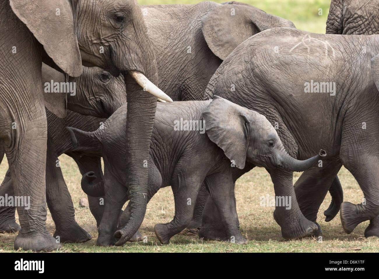 Elephants (Loxodonta africana), Masai Mara National Reserve, Kenya, East Africa, Africa - Stock Image