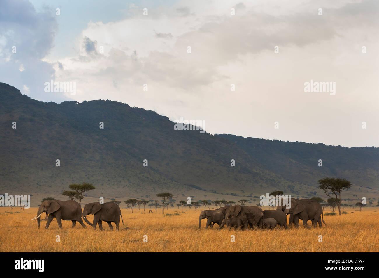 Elephant herd (Loxodonta africana), Masai Mara National Reserve, Kenya, East Africa, Africa - Stock Image