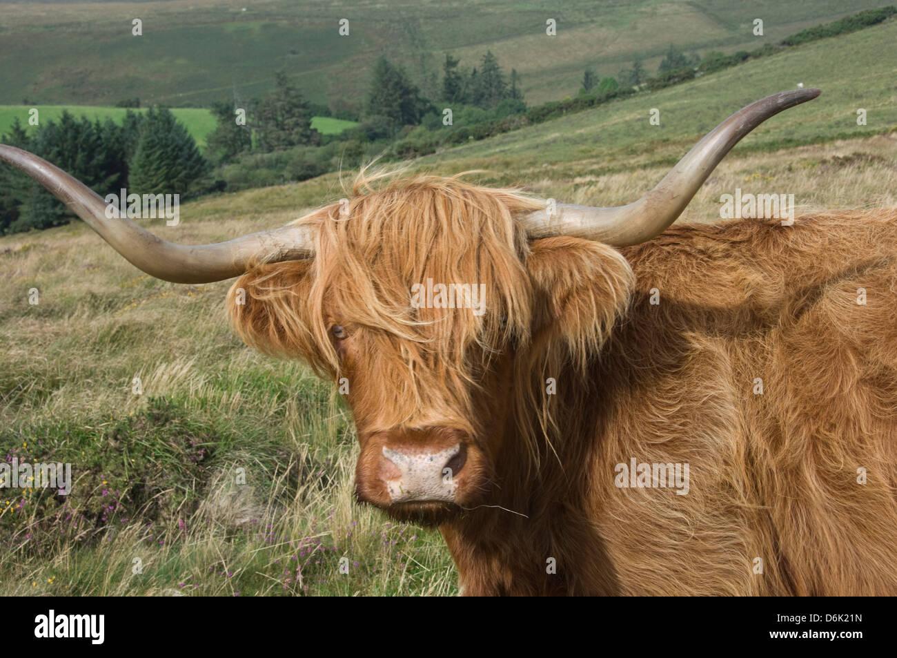 Highland cattle grazing on Dartmoor, Dartmoor National Park, Devon, England, United Kingdom, Europe - Stock Image