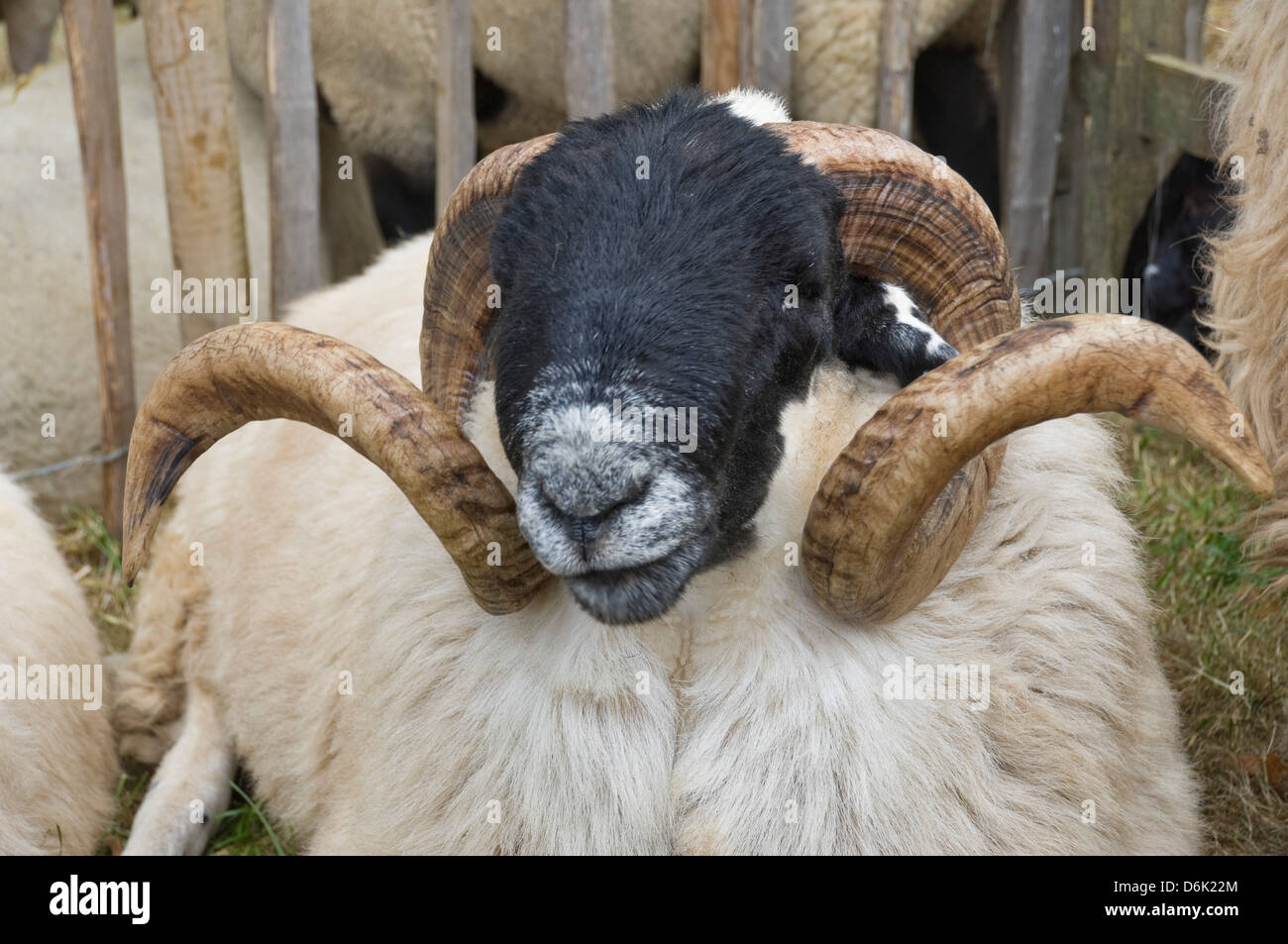 Dartmoor sheep, ram's head with curly horns, Widecombe Fair, Dartmoor, Dartmoor National Park, Devon, England, - Stock Image