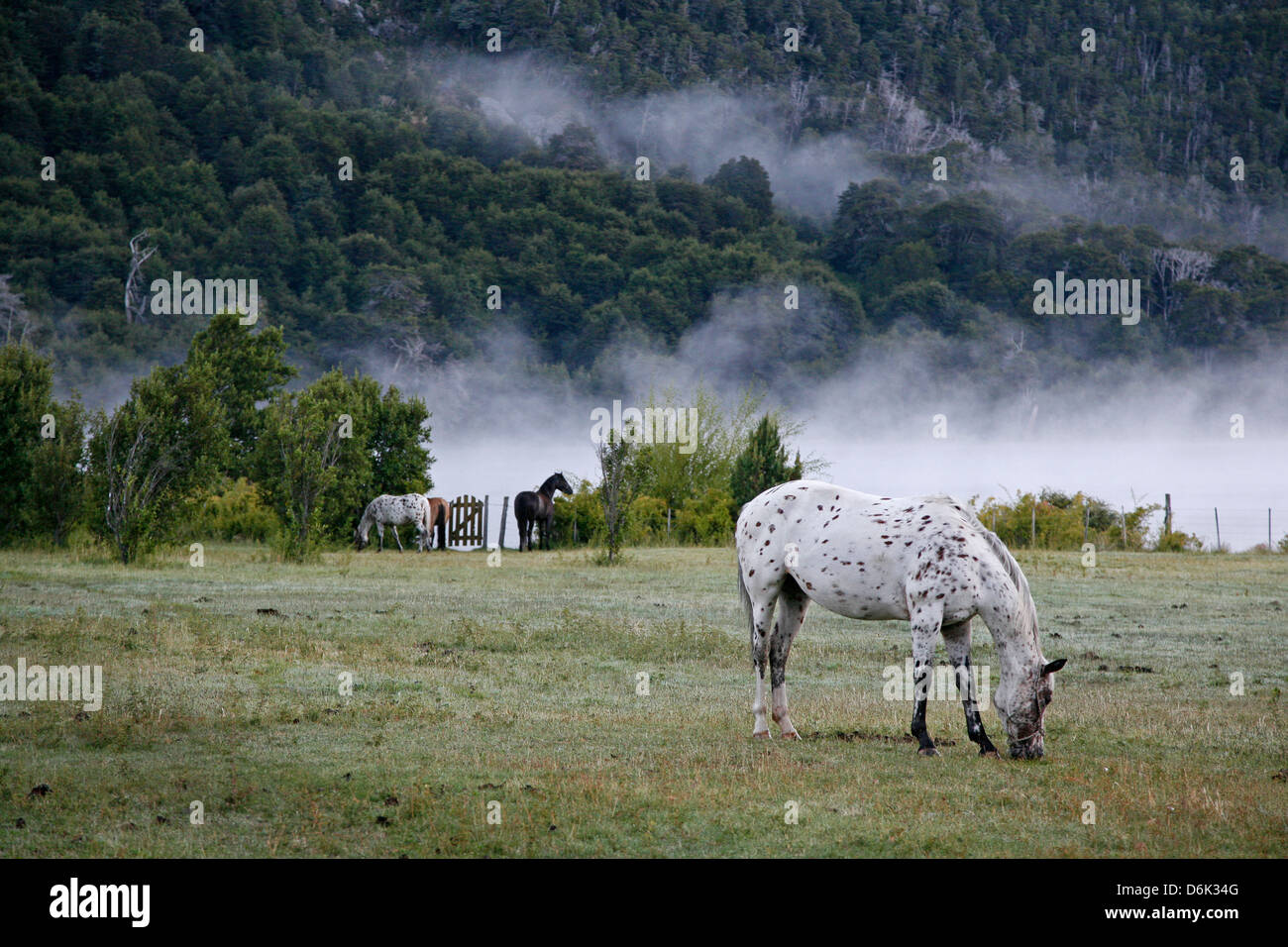 Horses in a field, Patagonia, Argentina, South America - Stock Image