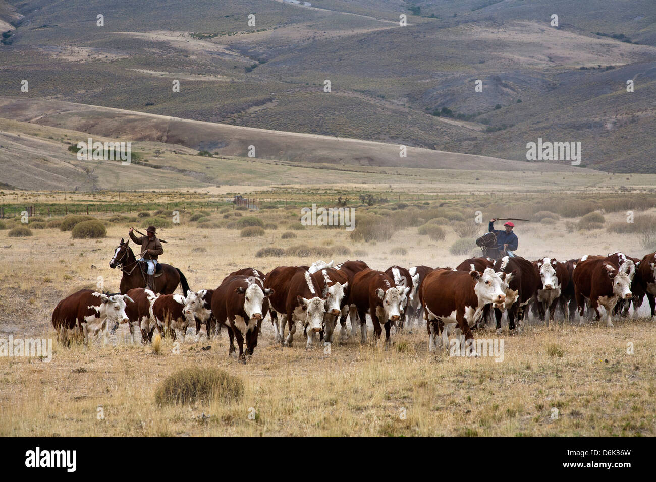 Gauchos with cattle at the Huechahue Estancia, Patagonia, Argentina, South America - Stock Image