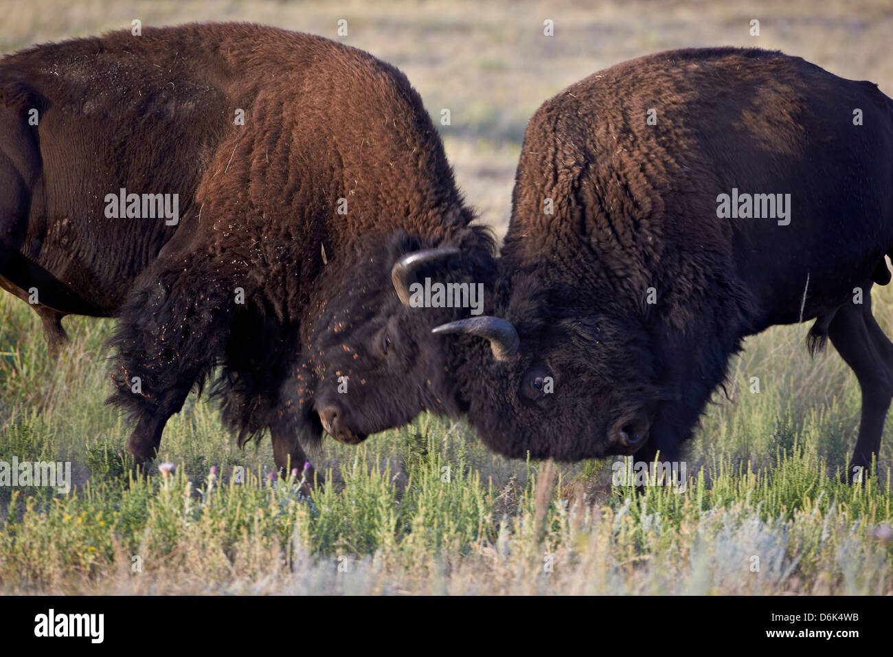 Bison (Bison bison) bulls sparring, Custer State Park, South Dakota, United States of America, North America Stock Photo