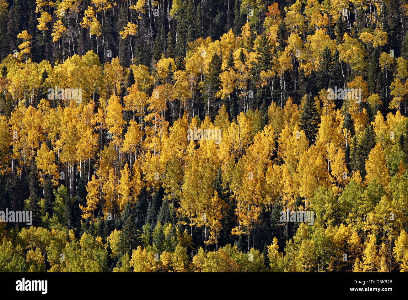 Yellow and orange aspens among evergreens in the fall, Uncompahgre National Forest, Colorado, USA - Stock Image