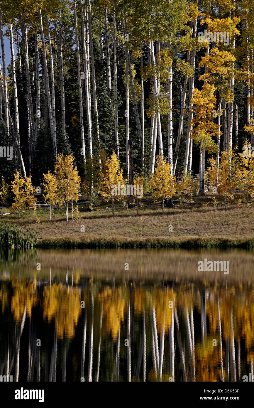 Yellow aspens among evergreens in the fall reflected in a lake, Uncompahgre National Forest, Colorado, USA - Stock Image