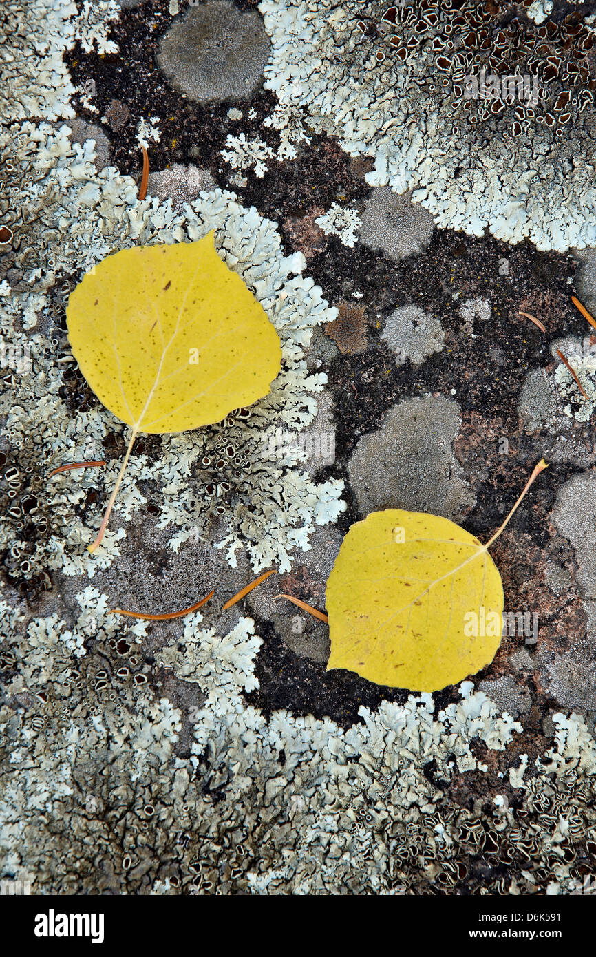 Yellow aspen leaves on a lichen-covered rock in the fall, Uncompahgre National Forest, Colorado, USA - Stock Image