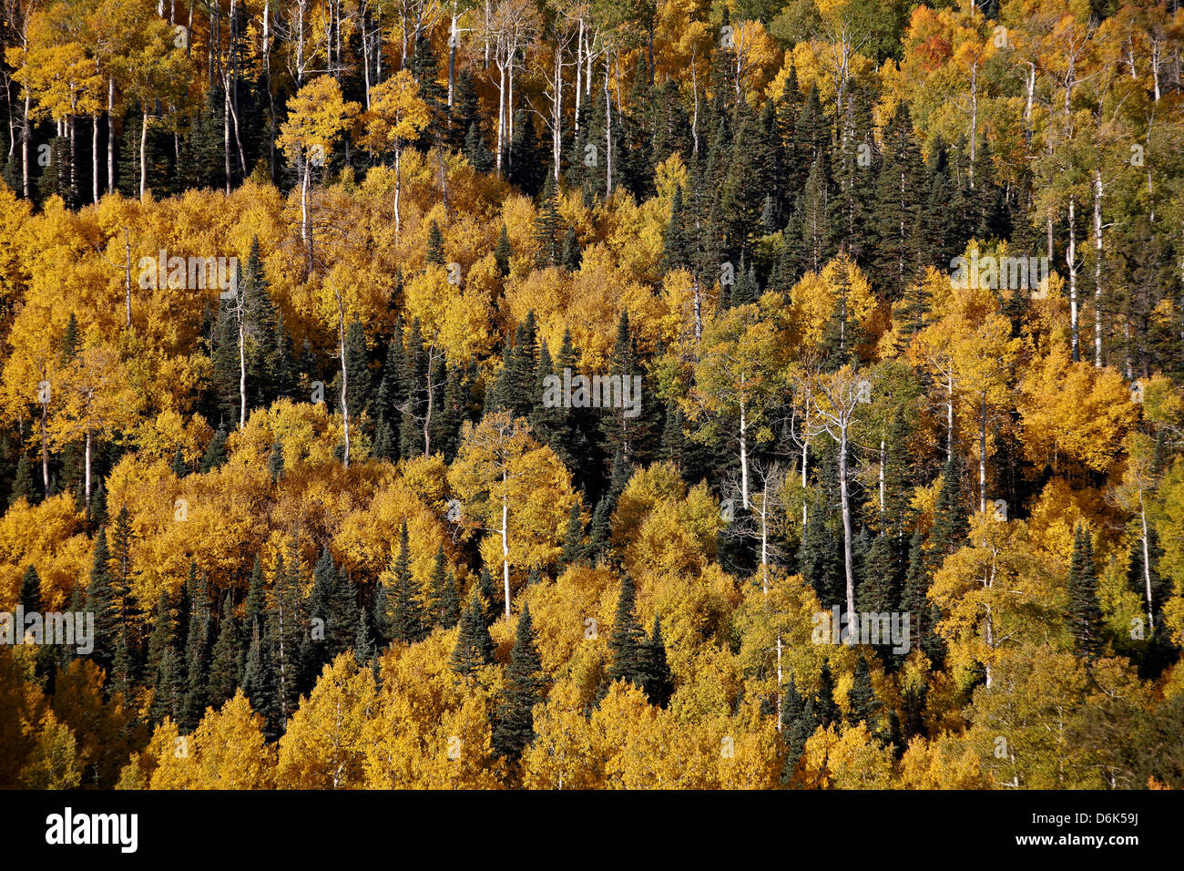 Yellow aspens among evergreens in the fall, Uncompahgre National Forest, Colorado, United States of America, North - Stock Image