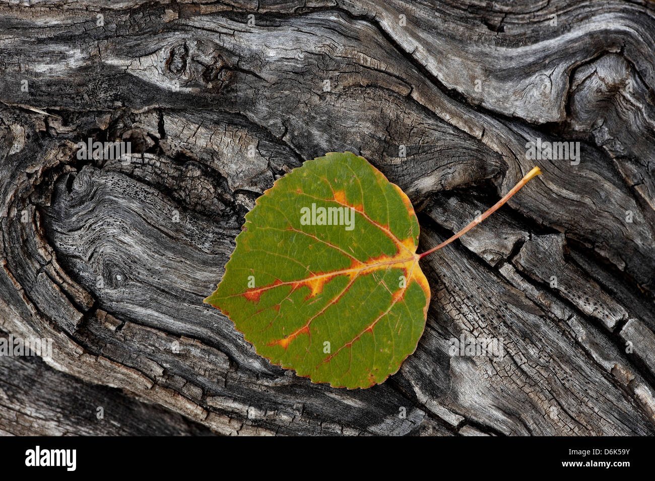 Aspen leaf turning red, orange, and yellow, Uncompahgre National Forest, Colorado, United States of America, North - Stock Image