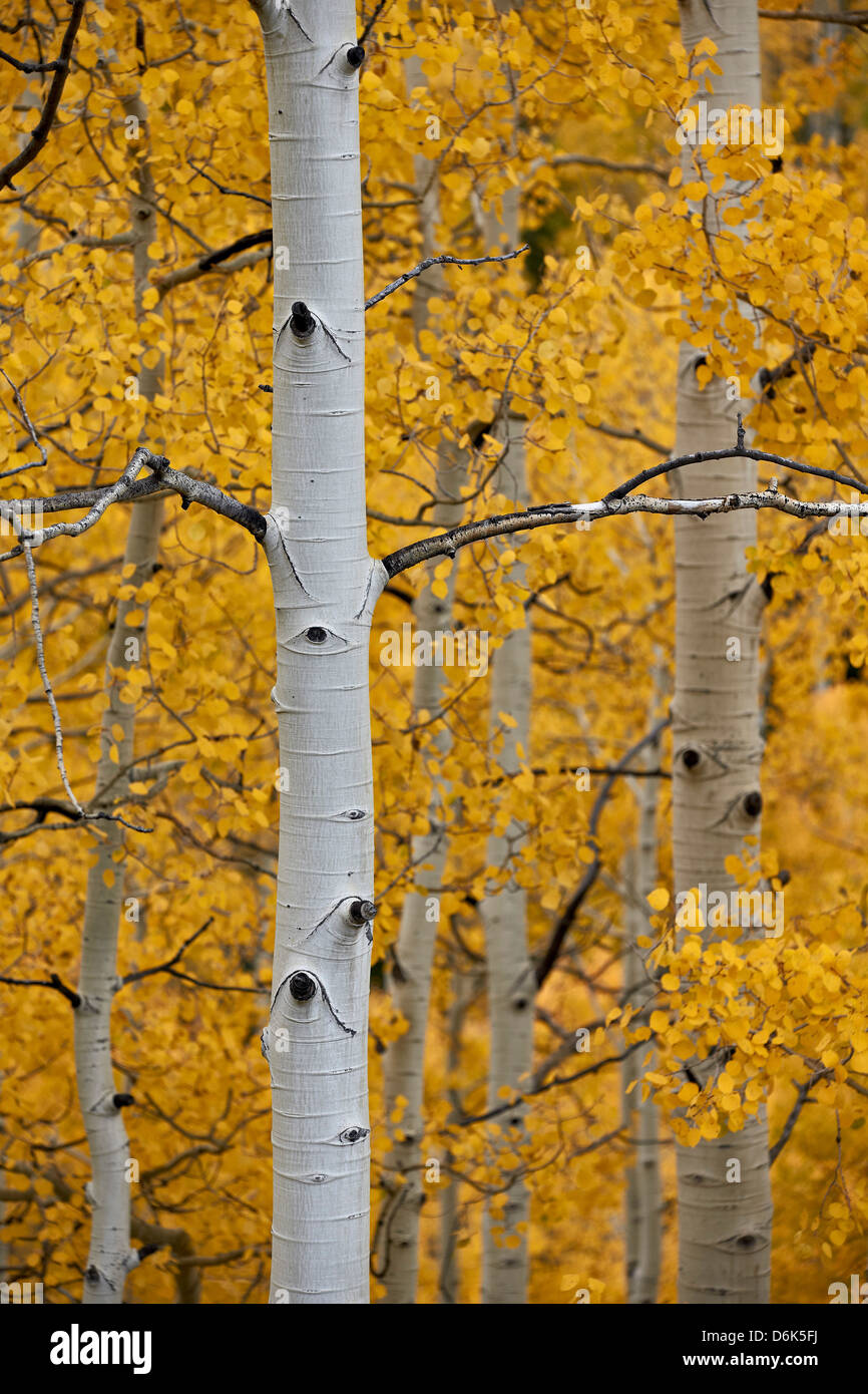 Aspen trunks among yellow leaves, Uncompahgre National Forest, Colorado, United States of America, North America - Stock Image