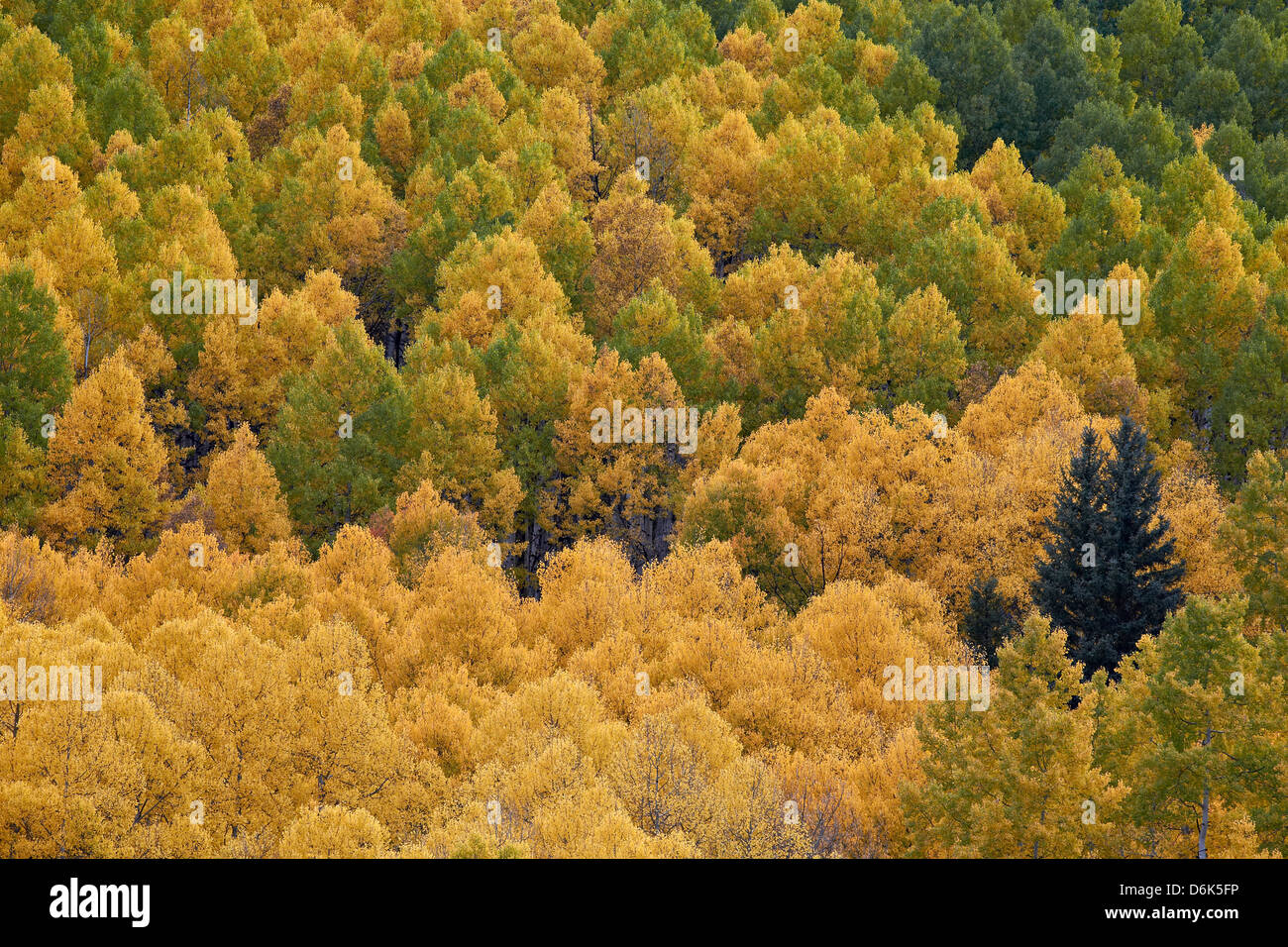 Evergreen among yellow and green aspens in the fall, Uncompahgre National Forest, Colorado, USA - Stock Image
