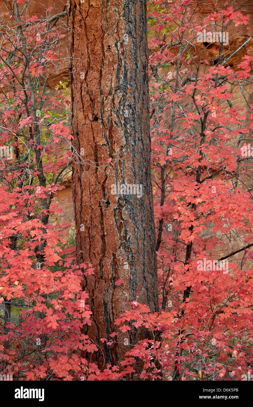 Red leaves on a bigtooth maple (Acer grandidentatum) surround a Ponderosa pine trunk in the fall, Zion National Stock Photo