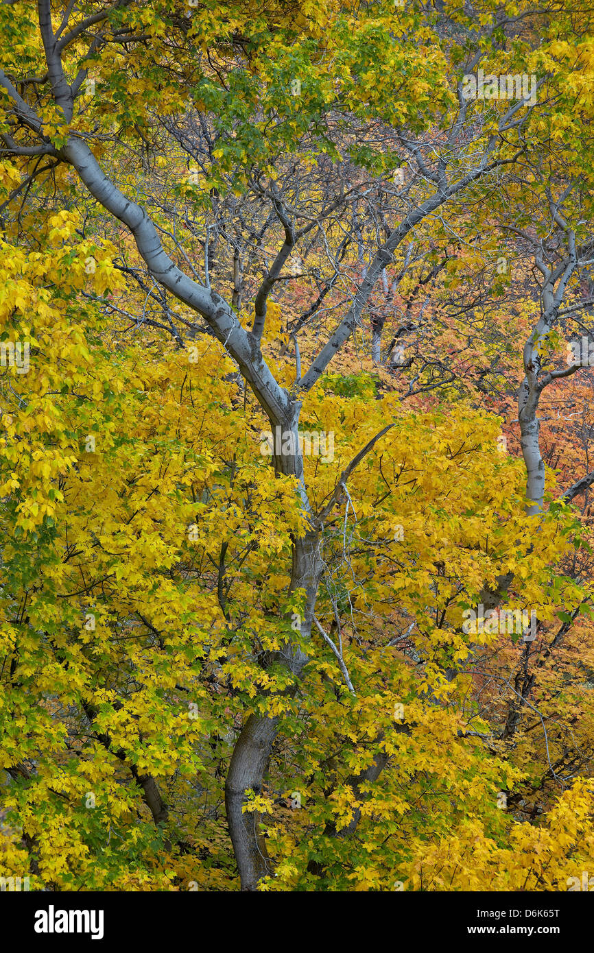 Box elder (boxelder maple) (maple ash) (Acer negundo) with yellow leaves in the fall, Zion National Park, Utah, - Stock Image