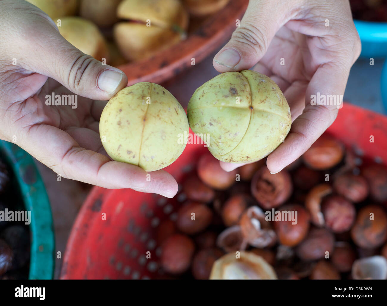 Comparing nutmeg fruits with male on the right and female on the left, Penang, Malaysia, Southeast Asia, Asia - Stock Image