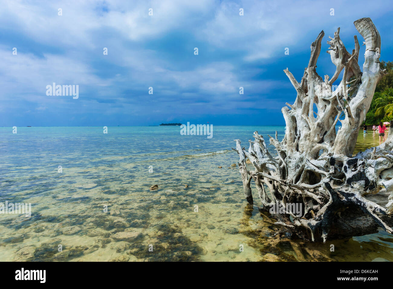 Dead tree at Micro beach in Garapan, Saipan, Northern Marianas, Central Pacific, Pacific - Stock Image