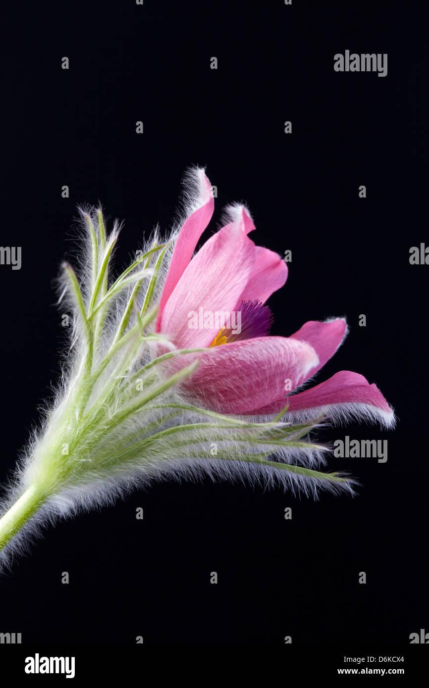 Close up studio shot of Pulsatilla Vulgaris against a black background - Stock Image