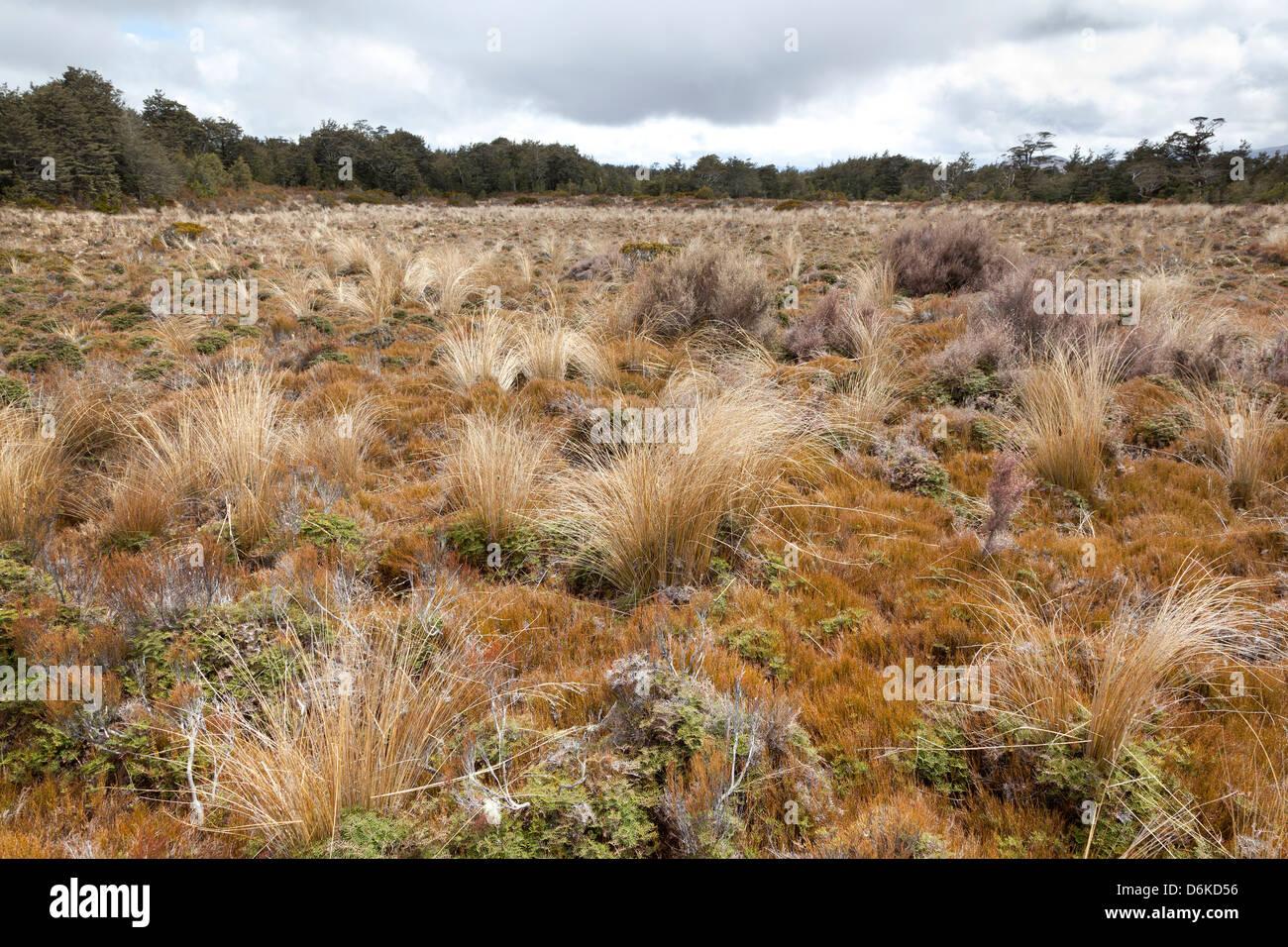 Dried grass, Tongariro National Park, New Zealand - Stock Image