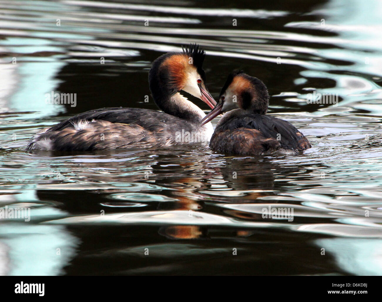 Couple of  swimming adult Great Crested Grebes (Podiceps cristatus) in breeding plumage - Stock Image