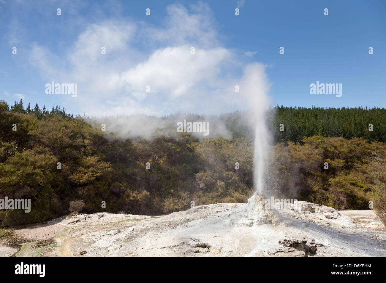 Lady Knox Geyser in Wai-O-Tapu Geothermal Reserve Rotorua, New Zealand - Stock Image