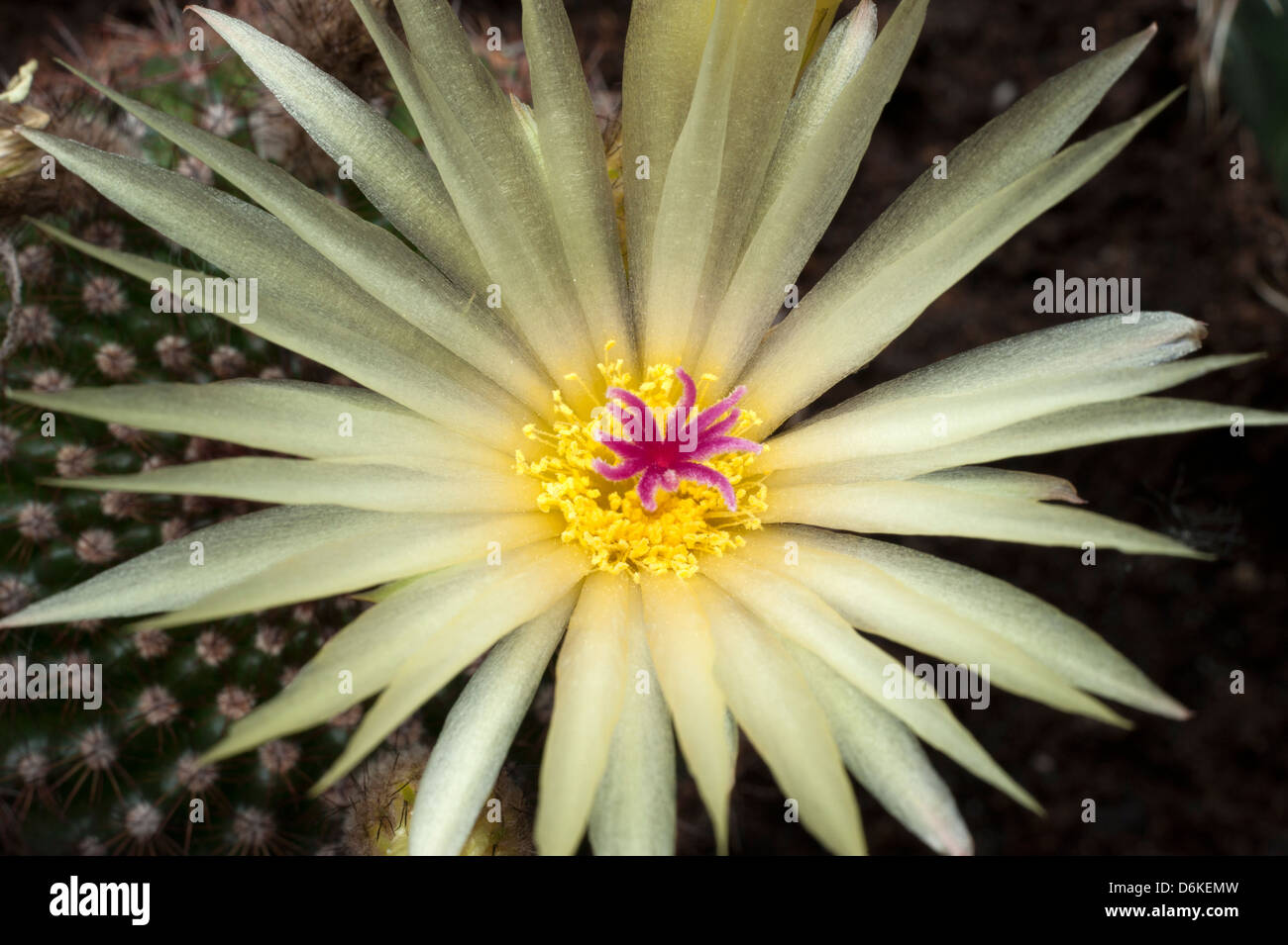 Yellow Cactus Flower Heart In Close Up With Spiky Leaves Yellow