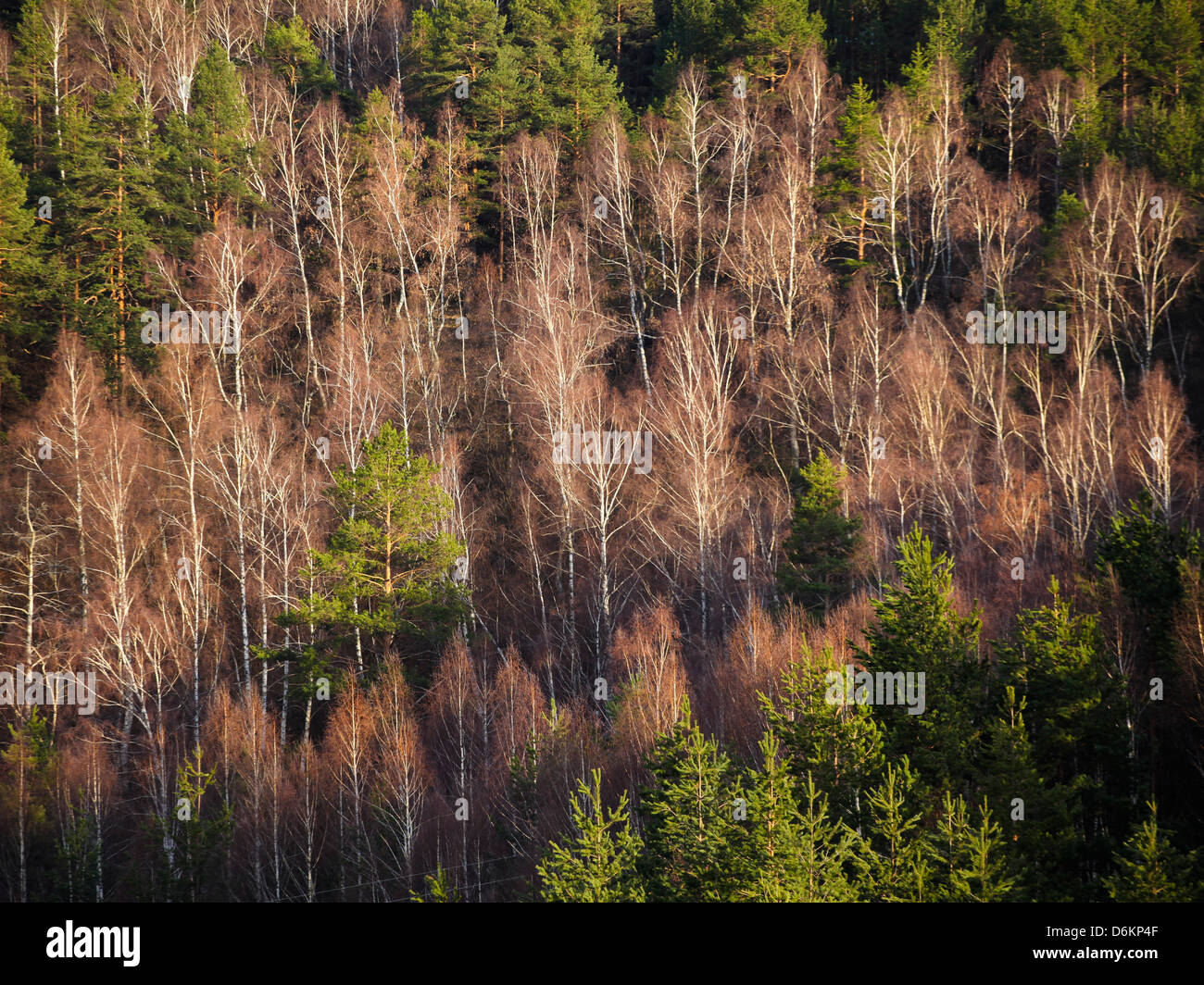 Conifer and birch forest on Zlatibor mountain - Stock Image