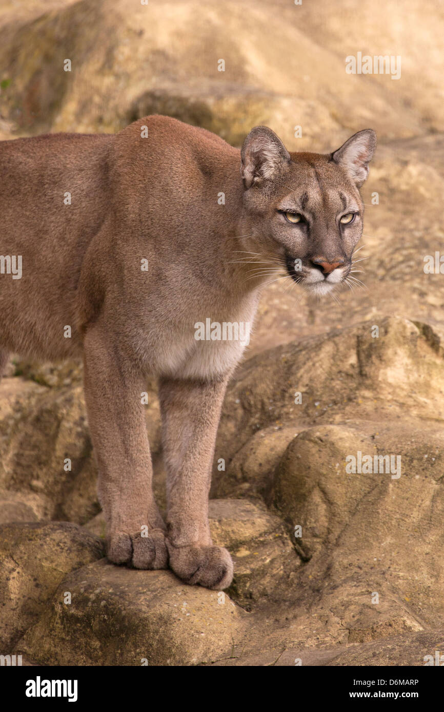 Puma - Stock Image