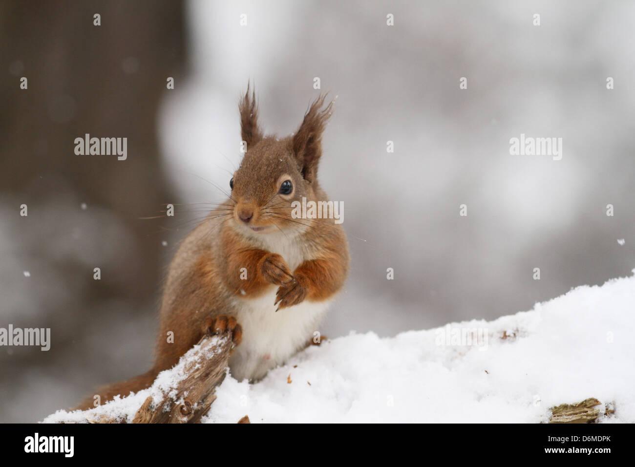 Red Squirrel (Sciurus vulgaris) feeding in snow covered Caledonian Pine Forest. Scotland. - Stock Image