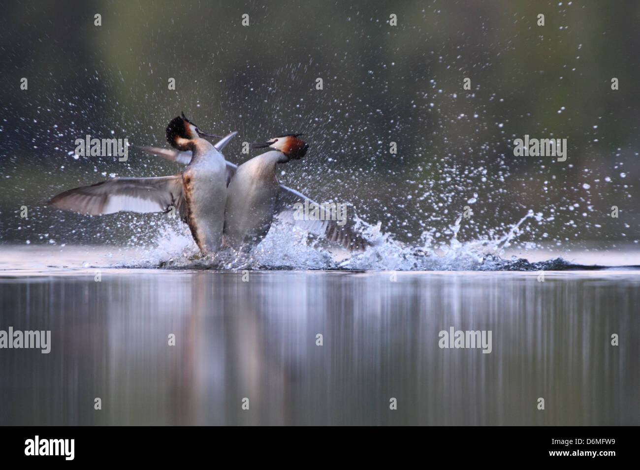 Great Crested Grebe's (Podiceps cristatus) fighting over territory. Europe - Stock Image