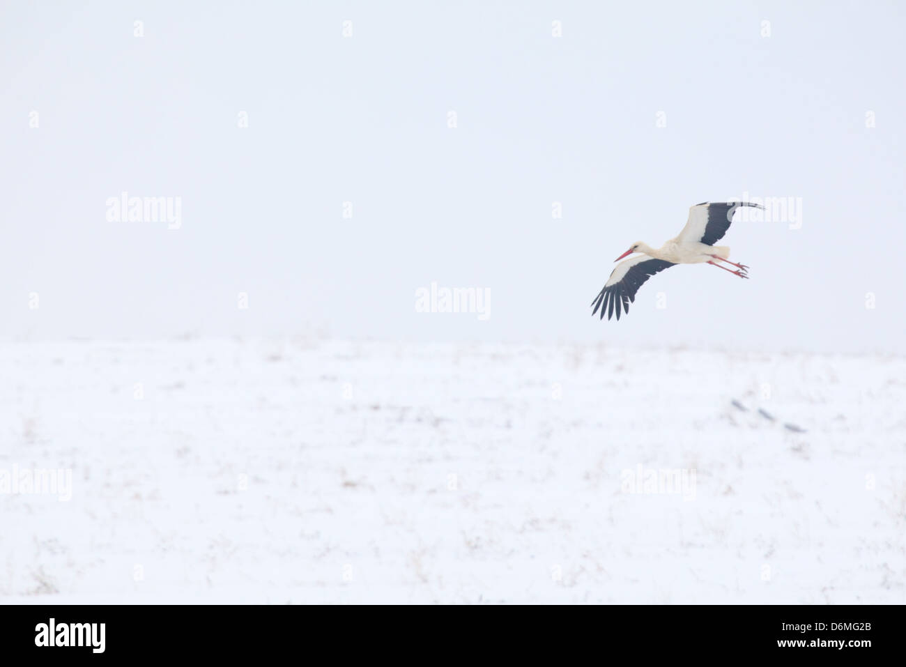 White Stork (Ciconia ciconia) flying over snowy field in spring(April). Europe, Estonia Stock Photo