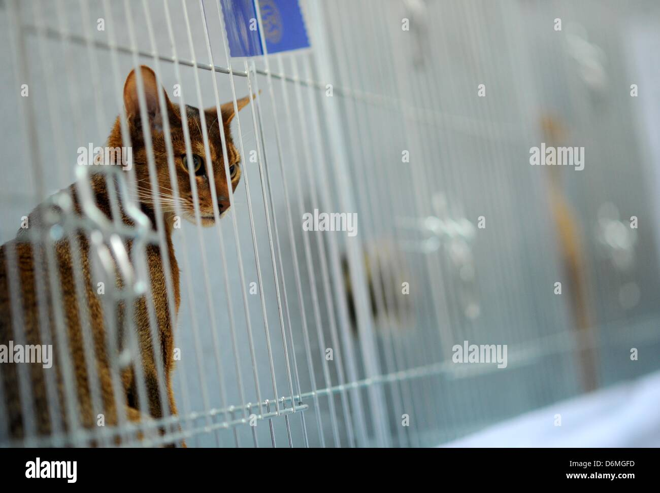 A house cat is pictured at the world cat exhibition in Dortmund, Germany, 20 April 2013. The association Deutsche Stock Photo