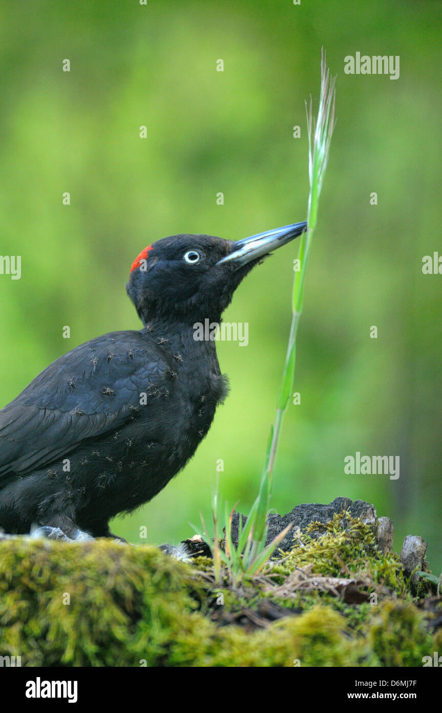 Black Woodpecker Dryocopus martius Anting Photographed in Pyrenees France - Stock Image