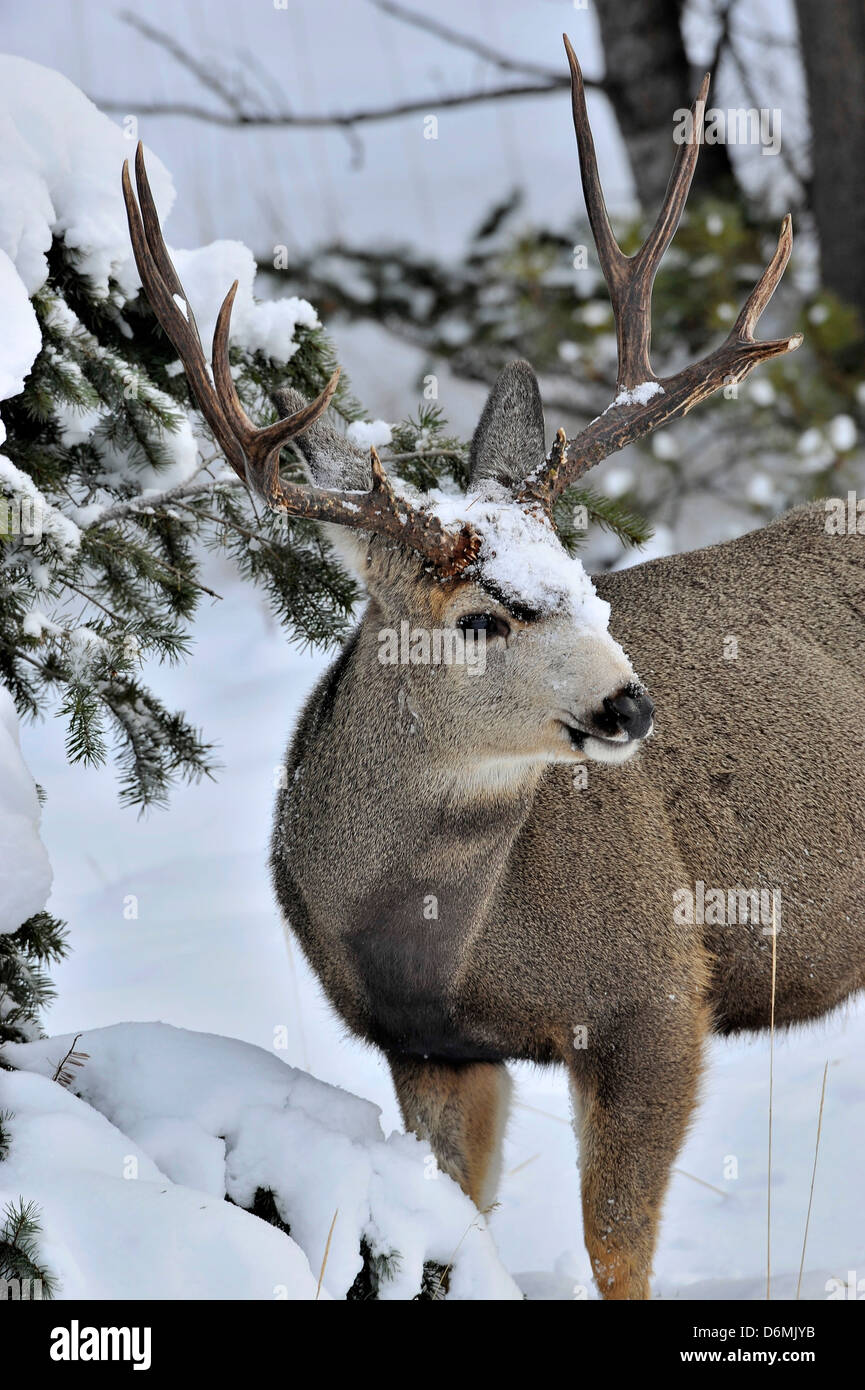 A mule deer buck standing in the deep winter snow under a spruce tree - Stock Image