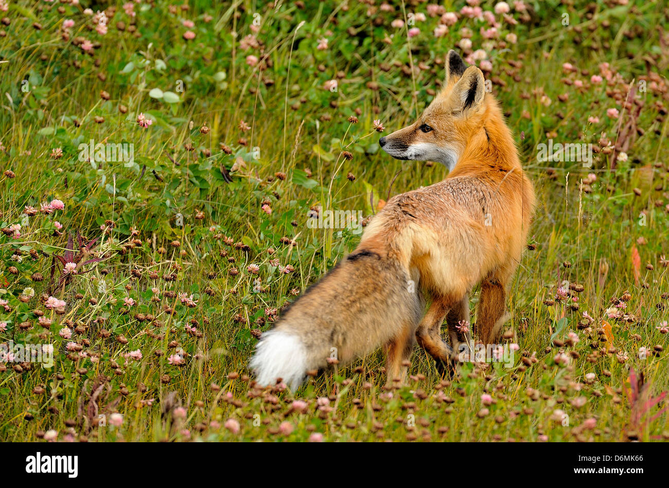 A young red fox looking back - Stock Image