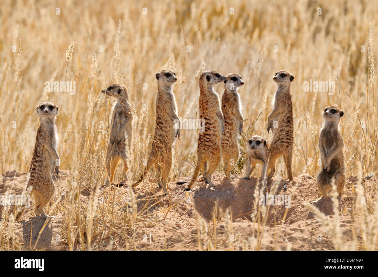 Meerkat Suricata suricatta Photographed in Kgalagadi National Park, South Africa - Stock Image