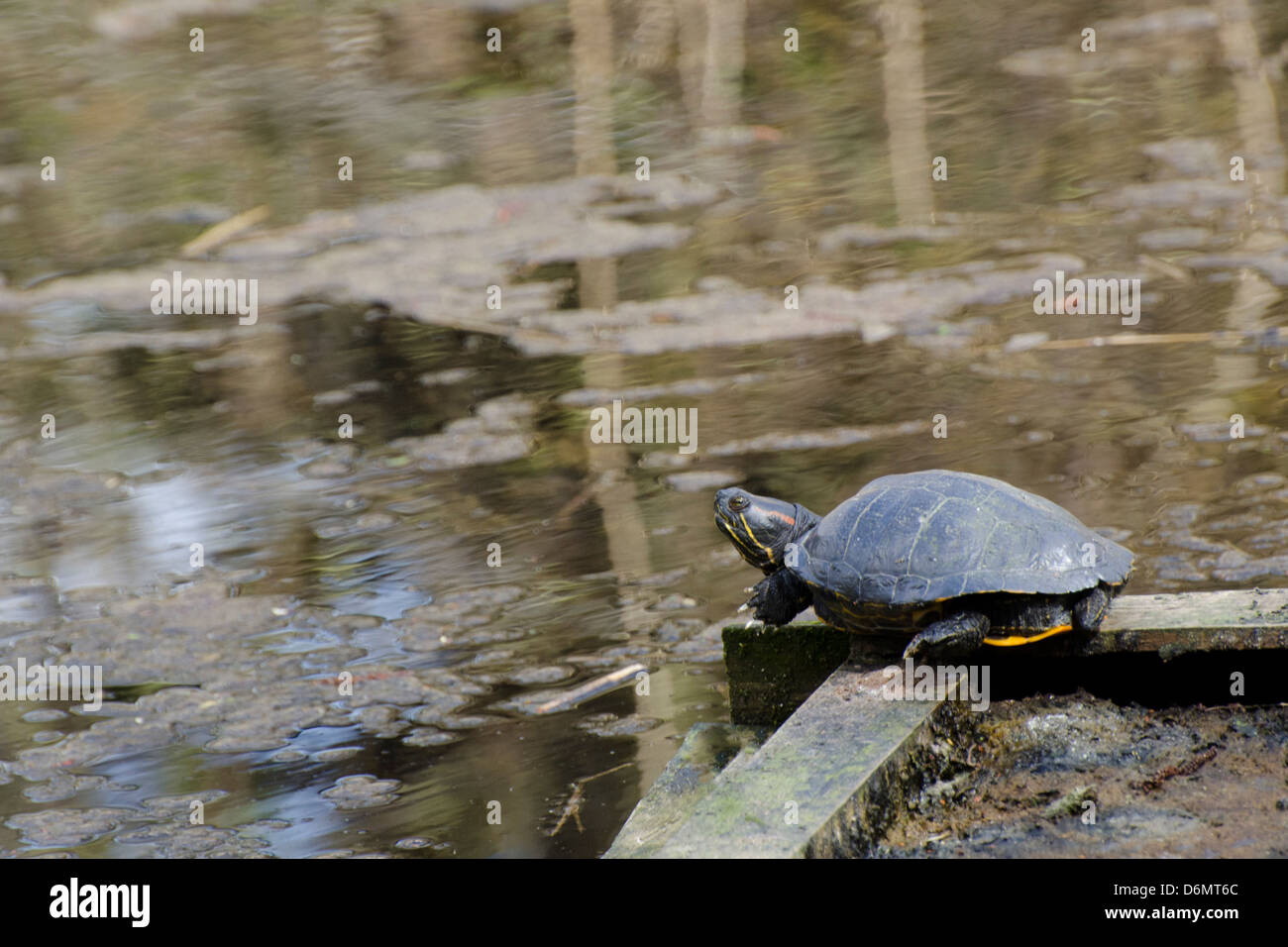 Basking terrapin on regents canal - Stock Image