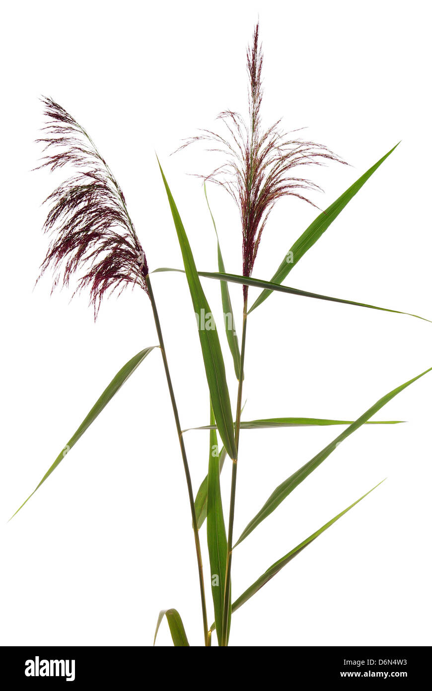 high reed grass on white background - Stock Image