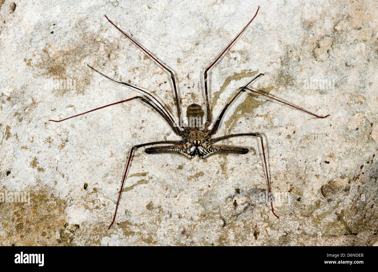 Tailless whipscorpion (Amblypigid) on a grungy cave wall, Ecuador - Stock Image