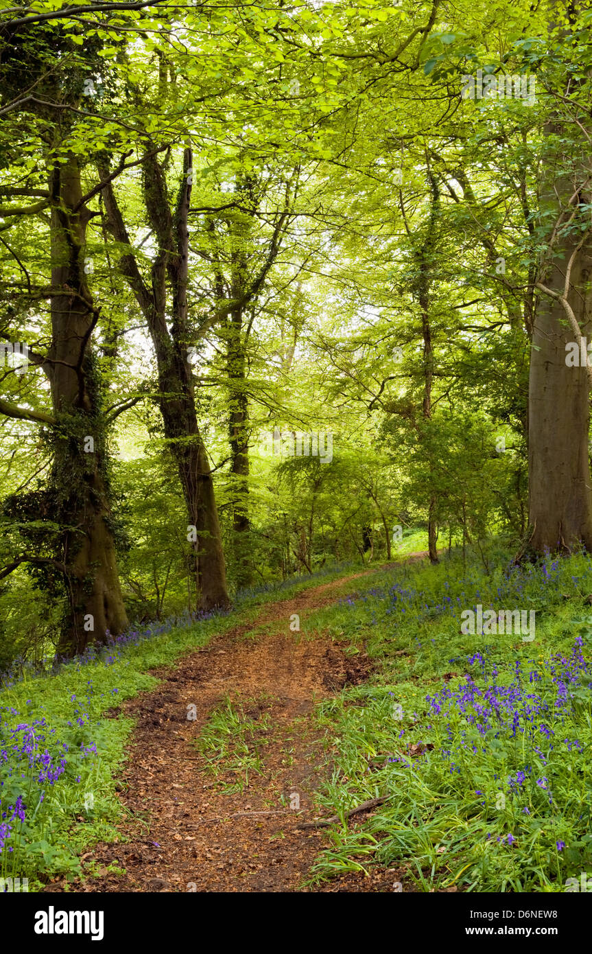 Spring time image of woodland path with vivid spring green colours and early bluebells appearing, taken in Bristol, UK Stock Photo