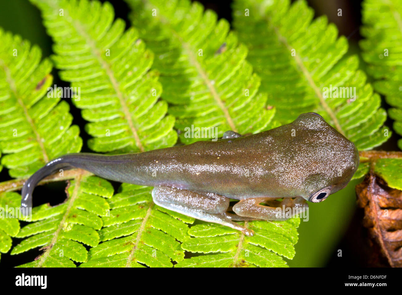 Amphibian metamorphosis - Tadpole changing into a frog. An amazonian species from Ecuador - Stock Image