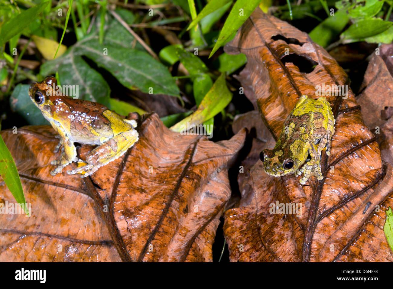 Two Neotropical marbled treefrogs (Dendropsophus marmoratus) on the rainforest floor, Ecuador - Stock Image