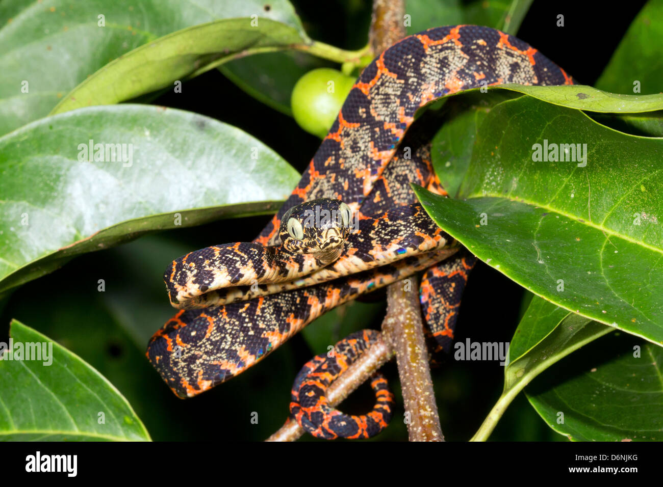 Corallus Stock Photos & Corallus Stock Images - Alamy