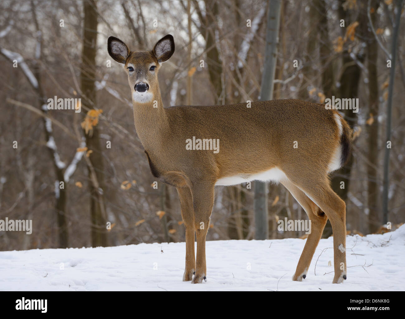 Alert female White Tailed Deer in a Toronto Ontario Canada backyard forest in winter - Stock Image