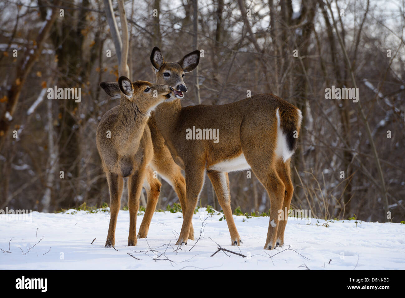 Two White Tailed Doe deer kissing in winter in a backyard in a Toronto ravine - Stock Image