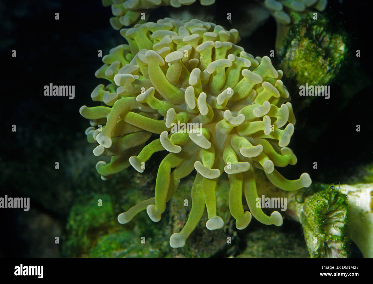 Anchor Coral Euphyllia ancora Euphyllidae Indo-pacific Ocean - Stock Image