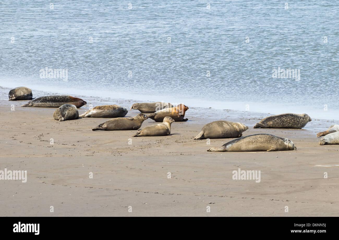Seals basking at low tide at Greatham Creek near Hartlepool, England, UK - Stock Image