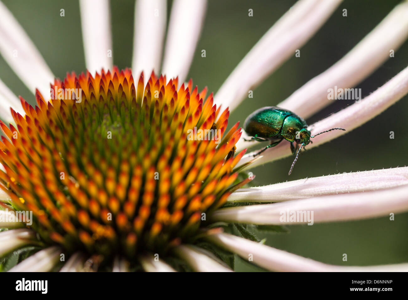 Berlin, Germany, Red Hat, on which sits a Goldglaenzender rose beetle - Stock Image