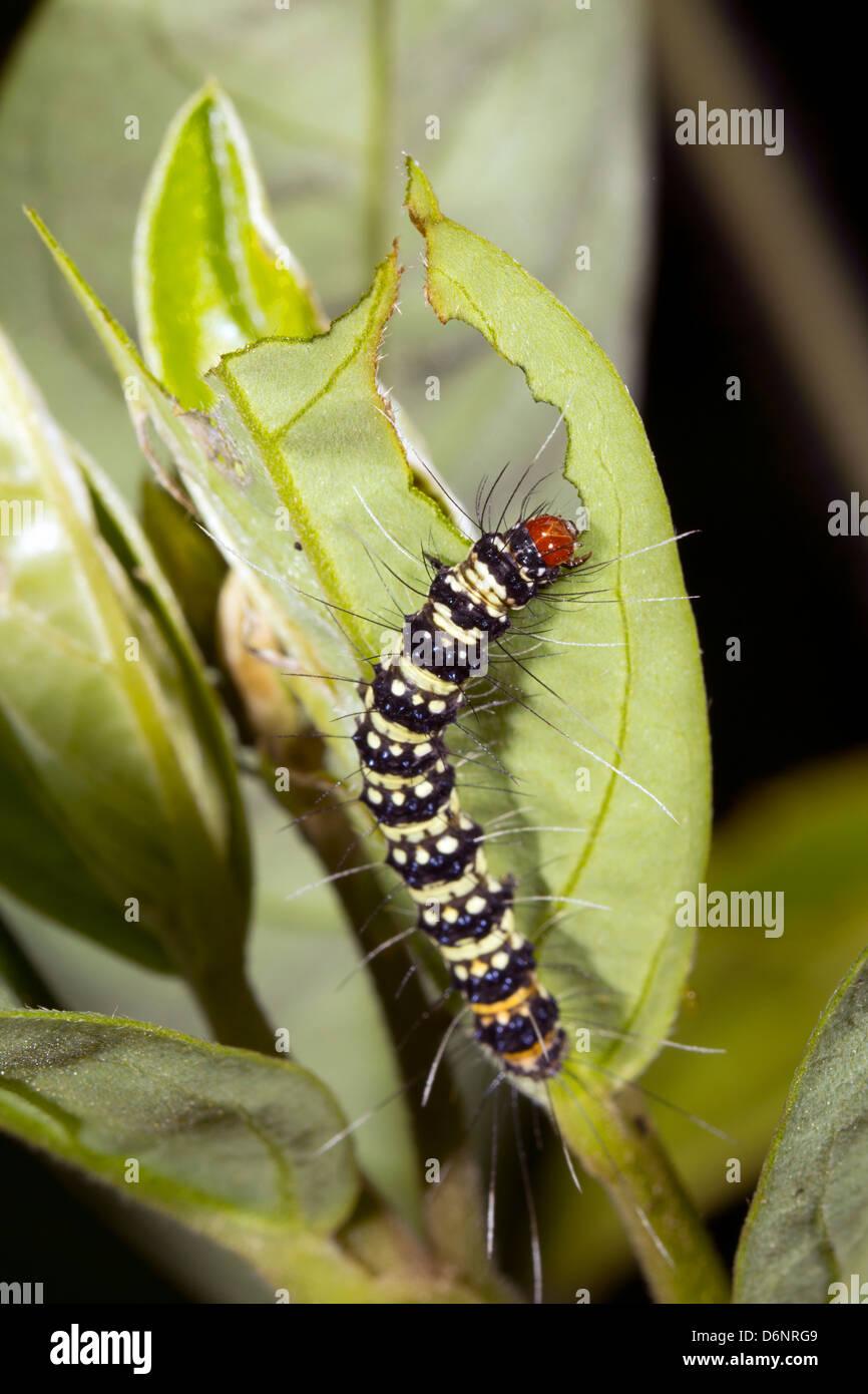 Lepidopteran caterpillar eating a leaf in the rainforest, Ecuador - Stock Image