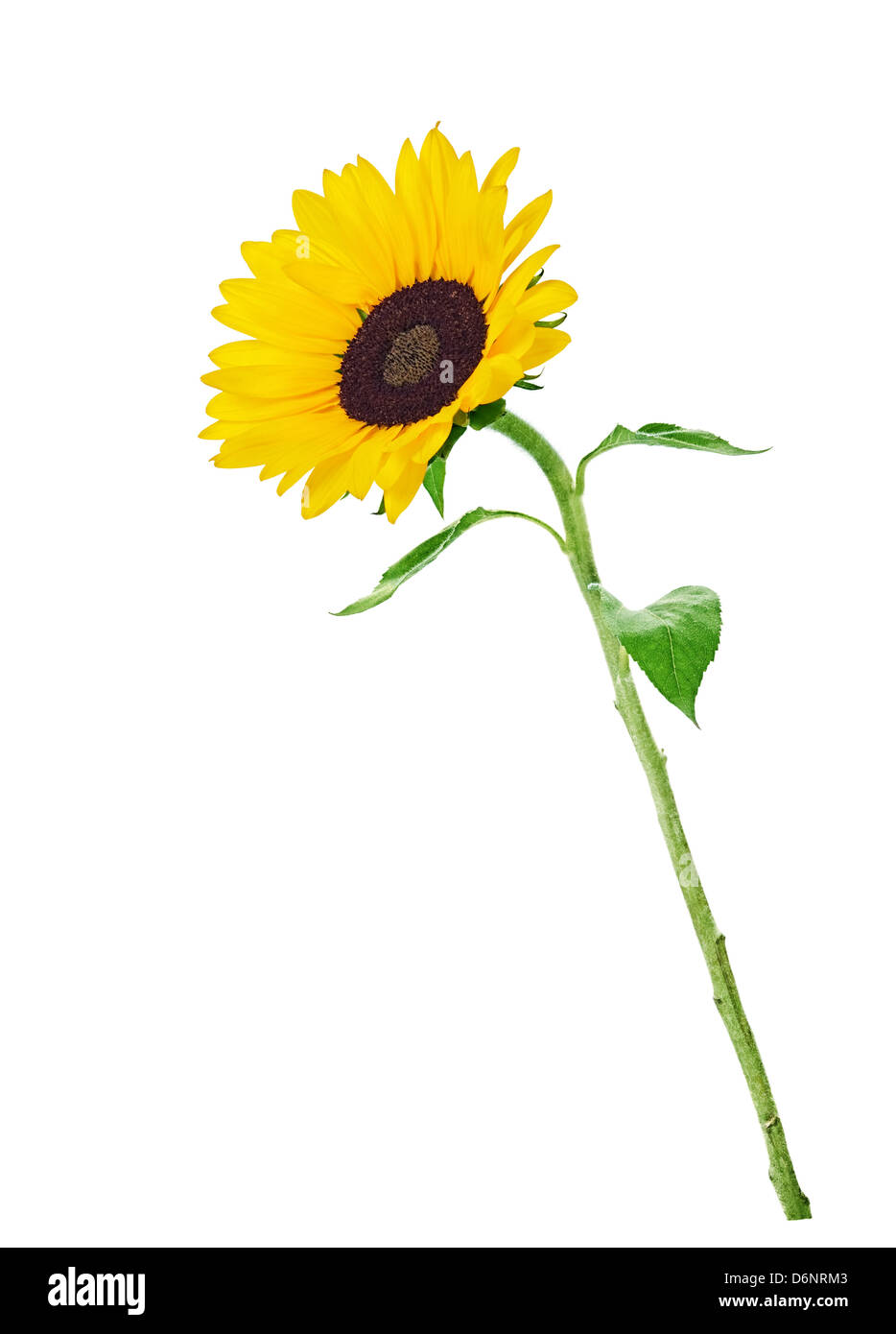 colorful yellow sunflower isolated on white background - Stock Image